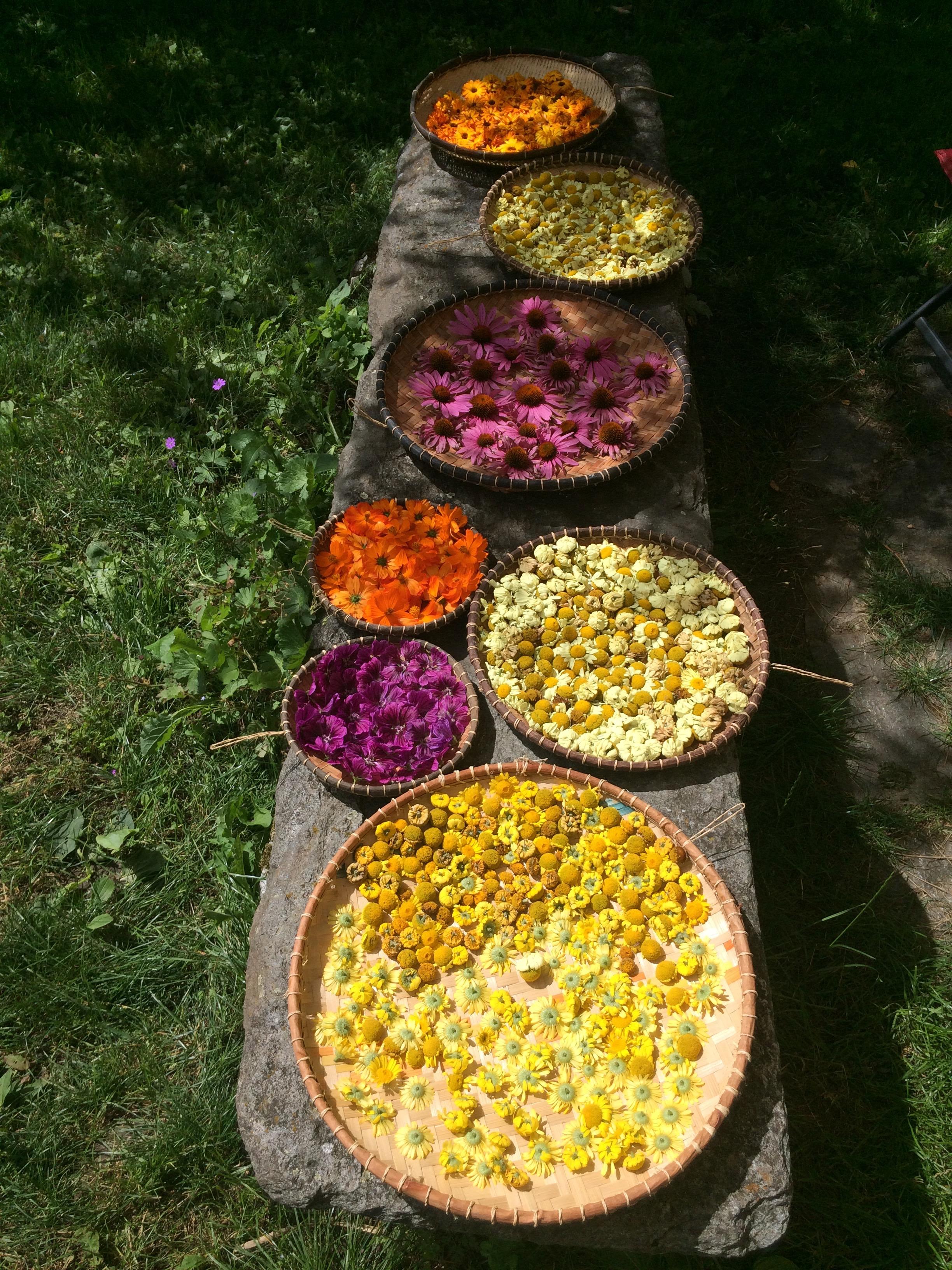 Fleurs au séchage