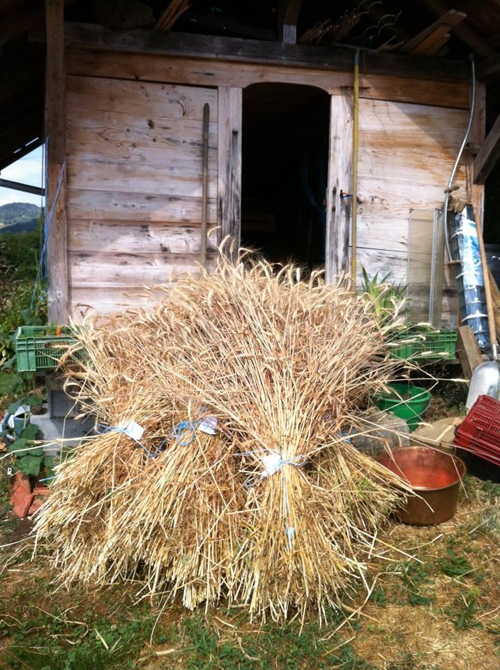 Moisson blés anciens 2015