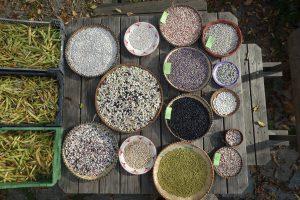Haricots grains récolte