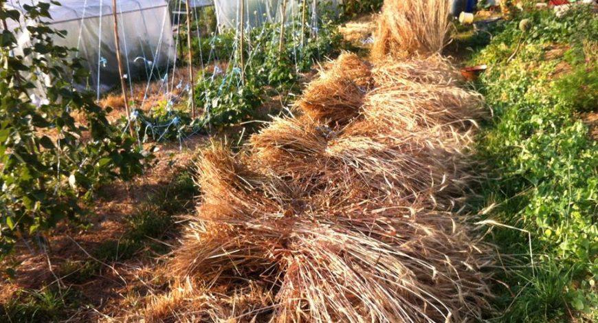 Moisson blés jardinés 2015