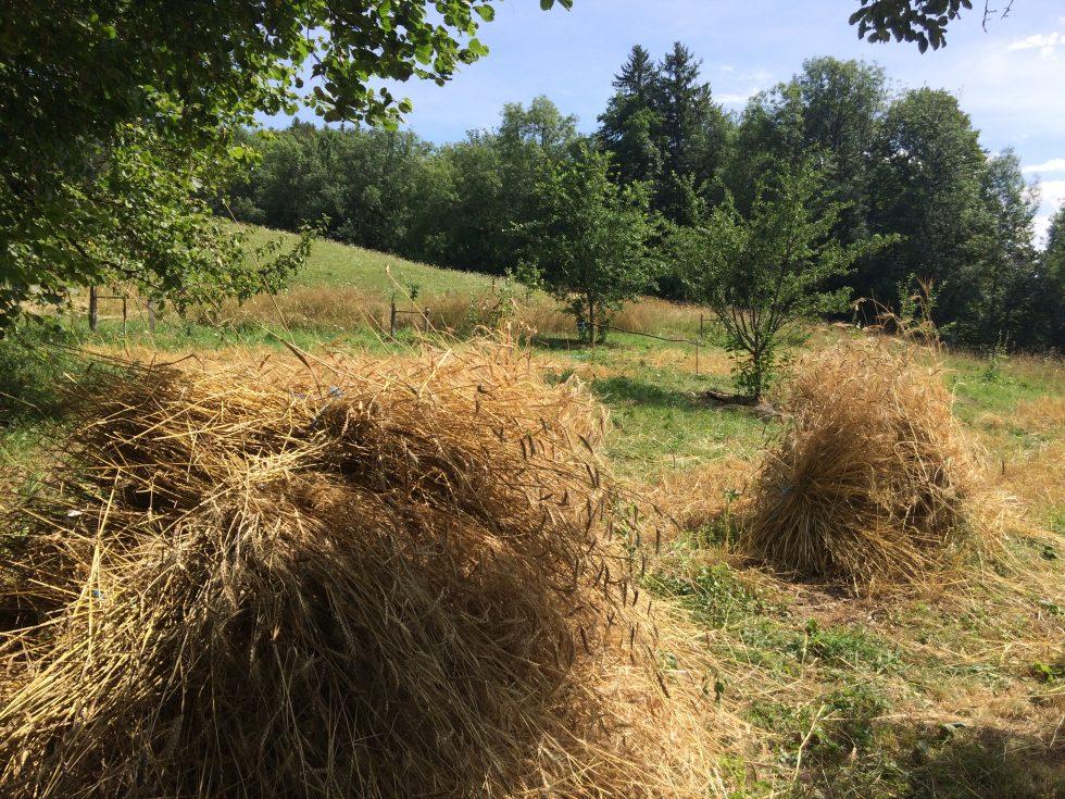 Moisson blés anciens