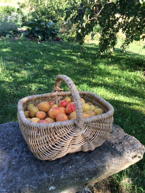 abricots Paviot